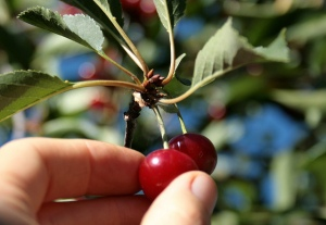 Cherry picking